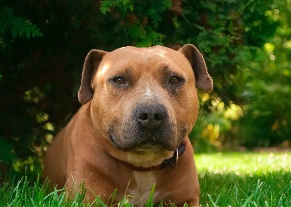 Rasy psów: Amerykański Staffordshire Terrier (Amstaff)