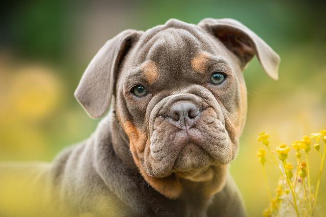 Rasy psów – Buldog Amerykański