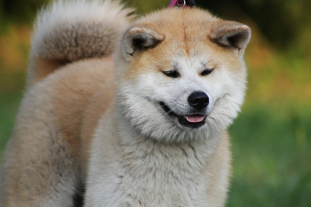 Rasy psów – Akita Inu